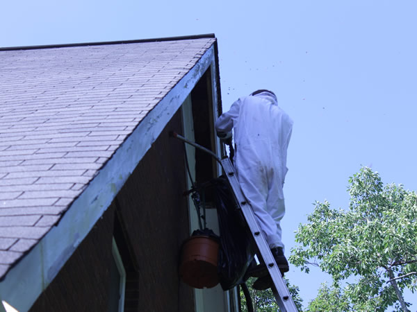Man on a ladder in a bee suit doing honey bee removal from a house in Marietta